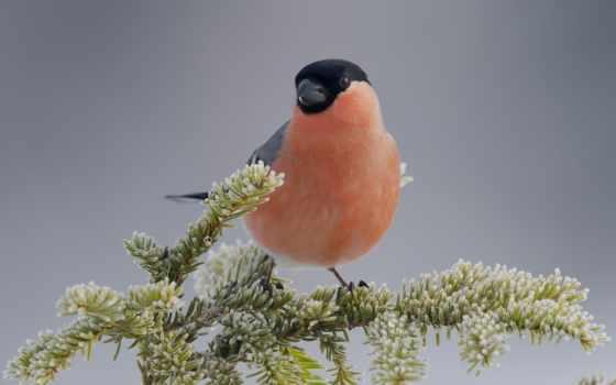 снегирь, птица, branch