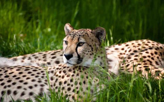гепард, кошки, zhivotnye, full, life, wild, гепарда, отдых, documentary, animals,