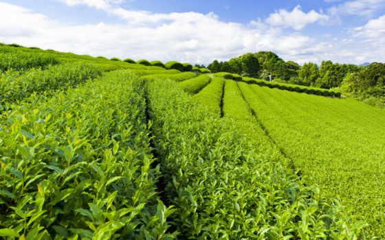 чая, плантация, чайная, чая, плантации, листва, зелёный, сочи, чайные, небо, чайных,