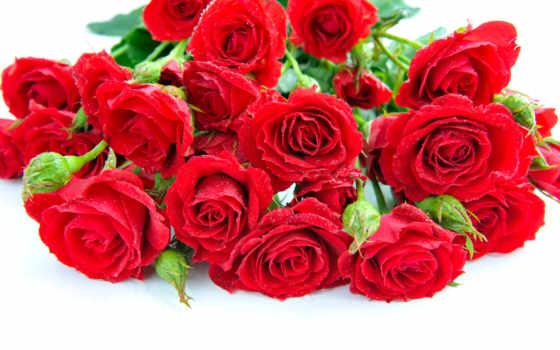 розы, букет, красные