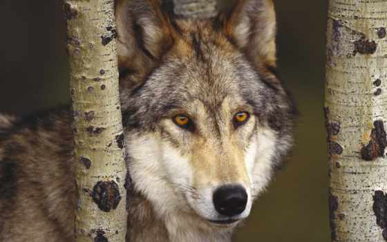 волк, волки, серый