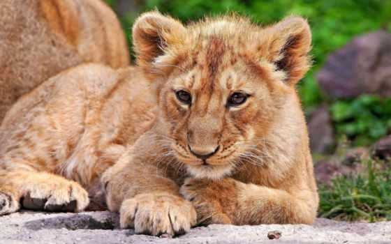 lion, чб, качества, high, animal, грива,