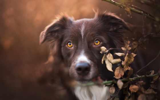 собака, коричневая, осень, морда, колли, border, portrait, листва, собаки, фотографий, примеры,