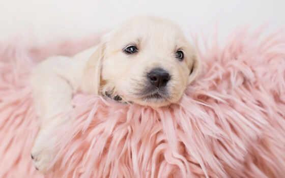 labrador, retriever, розовый, золотистый, щенок, нос