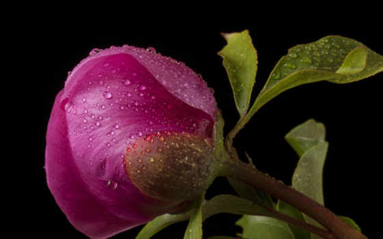 пионы, розовый