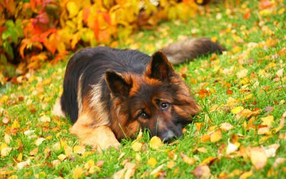 немецкая, овчарка, собак