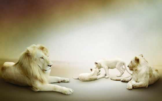 lion, львы, white, семья, страница, львята, золотистый, львица, белые,