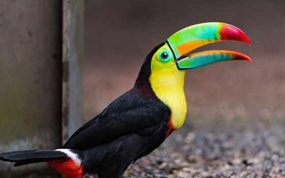 птица, клюв, toucan, птицы, красивый, большой, клювом, туканы, what,