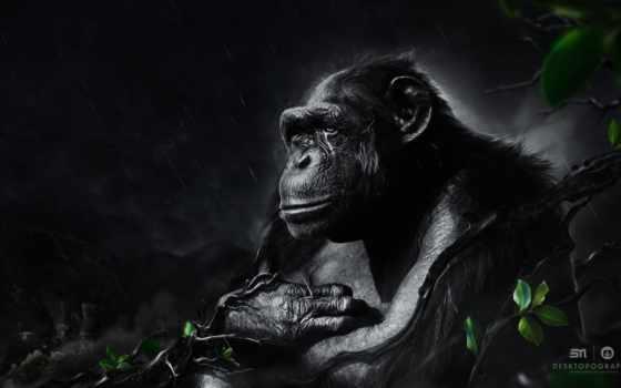 обезьяна, черная, обезьяны, ночным, дождем, под, горилла, шимпанзе, zhivotnye,