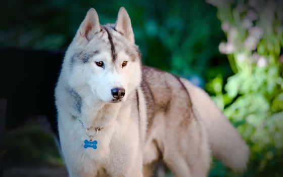 собака, full, хаски, animals, dogs, free, images, you, iphone,