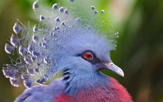 голубь, голуби, птица, красную, книгу, перья, комментарий, голубей, ipad, международную, венценосный,