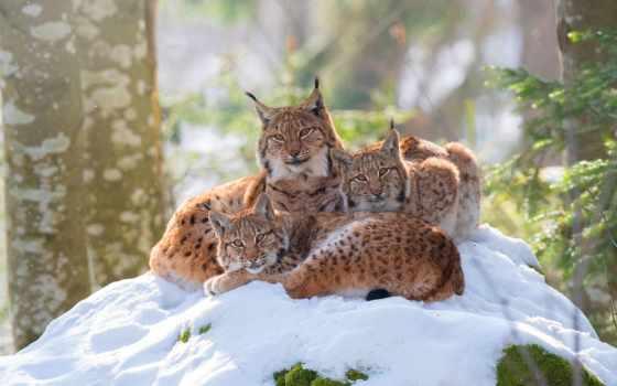 проживания, место, широкоформатные, рыси, мама, comfort, взгляд, рысь, трио, поза, кот,
