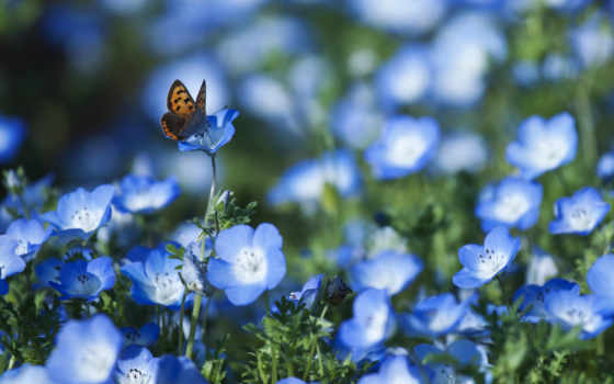 цветы, голубые, лепестки