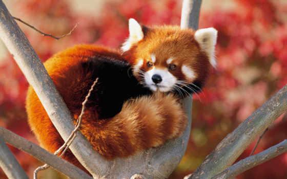 панда, красная, зооклубе