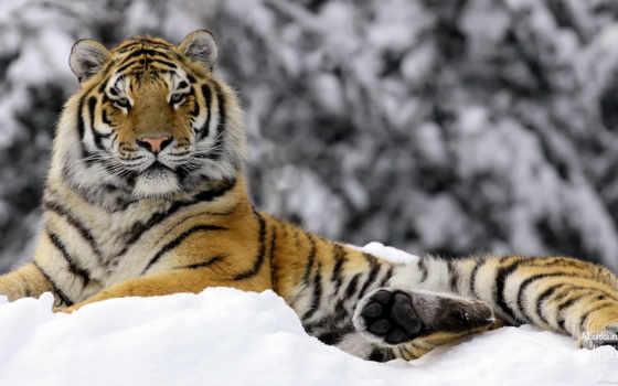 winter, mashka, тигр, красивые,