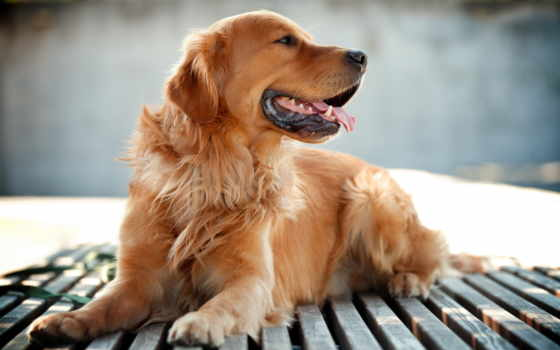 золотистый, retriever, собака, duvar, kağıtları, facebook,