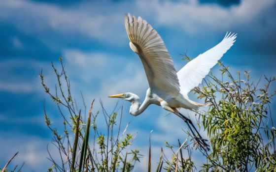 крылья, небо, птица, белая, птицы, страница, цапля, stork, полет, широкоформатные,