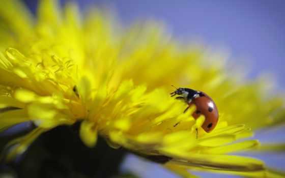 макро, цветы, cvety, одуванчик, весна,