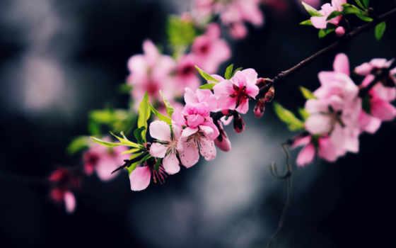 cvety, весна, branch, розовый, vũ