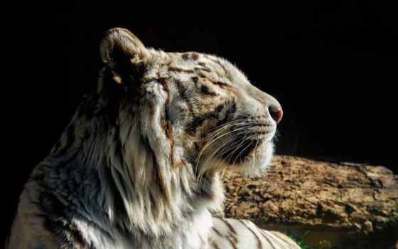тигр, кот, дикая
