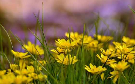 цветы, желтые, высоком