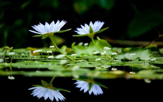 flowers, фон, black, water, lilies, color, white, lotus, pinterest, озеро,