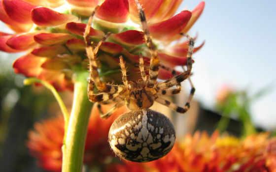 макро, уже, пауки, загружено, ordinary, noname, крестовик, diadematus, araneus,