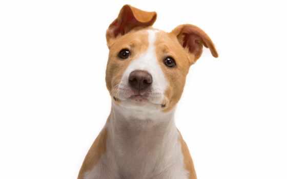 джек, бультерьер, рассел, amstaff, животных, zoom, собаки, щенок, бесплатные,