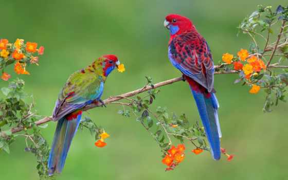 птицы, попугай, попугаи, pair, branch, ветки, картинка,