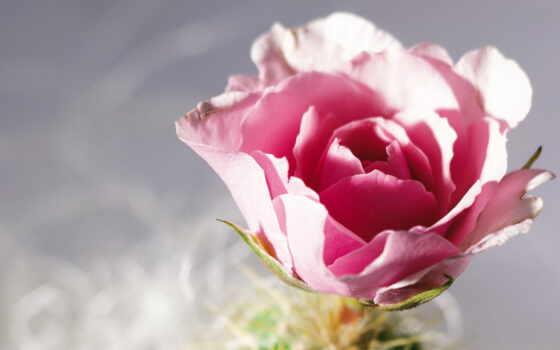 цветок, роза, лепестки, макро, картинка, картинку, кнопкой, мыши,