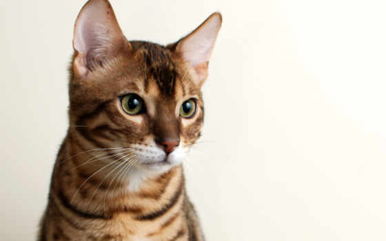 кот, кошкой, бенгальский
