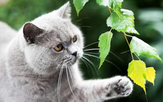 кот, british, серый, британец, свет, желтые,