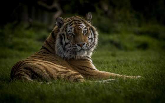 тигр, широкоформатные, трава,