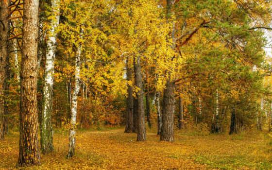 leaf, дерево, yellow, fore, береза, осень, природа