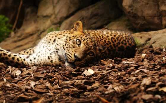 леопард, лежит, взгляд, камни, листья, ягуар, картинка, кошка, отдых, картинку,