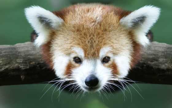 панда, красная, малая Фон № 54942 разрешение 1920x1200