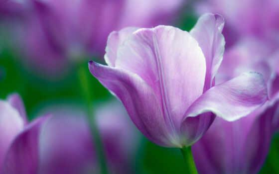 тюльпаны, тюльпан, море