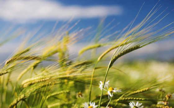 поле, ромашки, summer