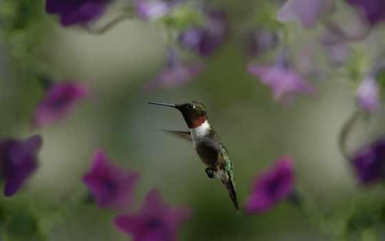 колибри, макро, птица, flowers, фото, размытость, полет,