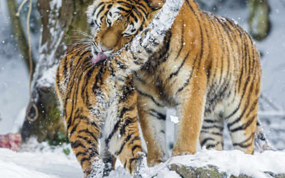 тигр, снег, siberian, amur, зимние, большая,