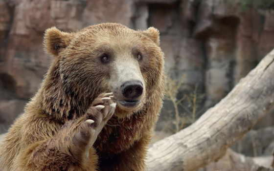 медведь, лапой, машет, медведя, лапы, медведей, браун,