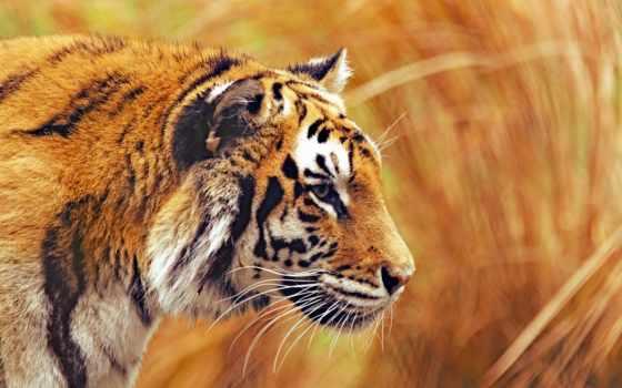 тигр, бенгальский, ipad