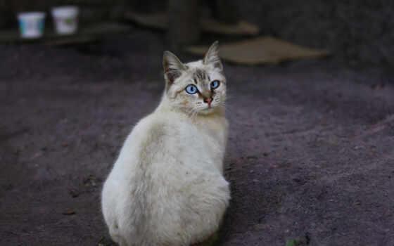 кот, asian, semi, длинношерстный, взгляд, tiffanie, тематика, порода, знать, также