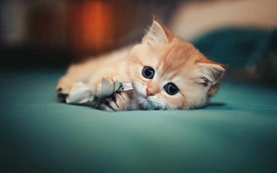кот, animal, toy, ложь, down, котенок, cute, narrow, glance, сладкое