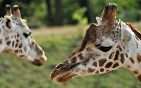 саванна, жирафы, зелёный, пара, африка, животных, зооклубе,