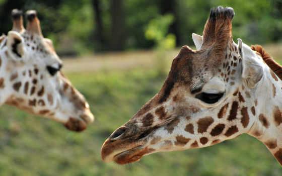 саванна, жирафы, зелёный