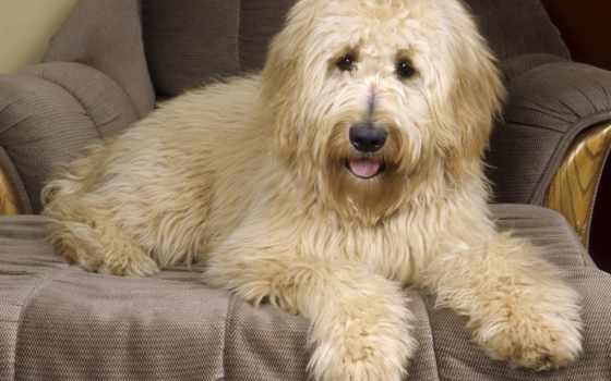 голдендудль, породы, собака