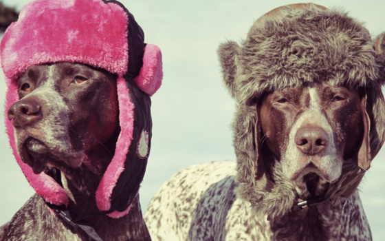 собака, шапки, собак, собаки, шапке, курцхаар, ушанки, породы,