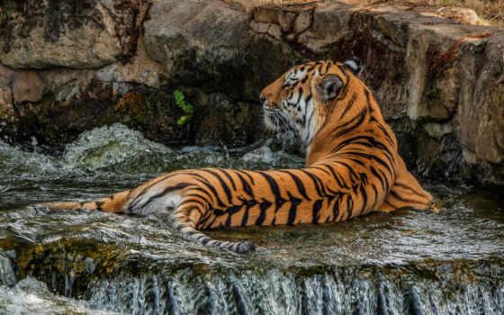тигр, tigers, тигры, страница, большие, кошки, животных, бесплатные,