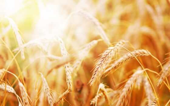 summer, sun, природа, серьги, тепло, пшеница, коллекция
